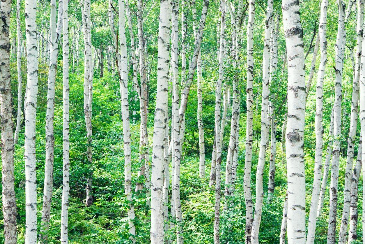 birch plywood plantation