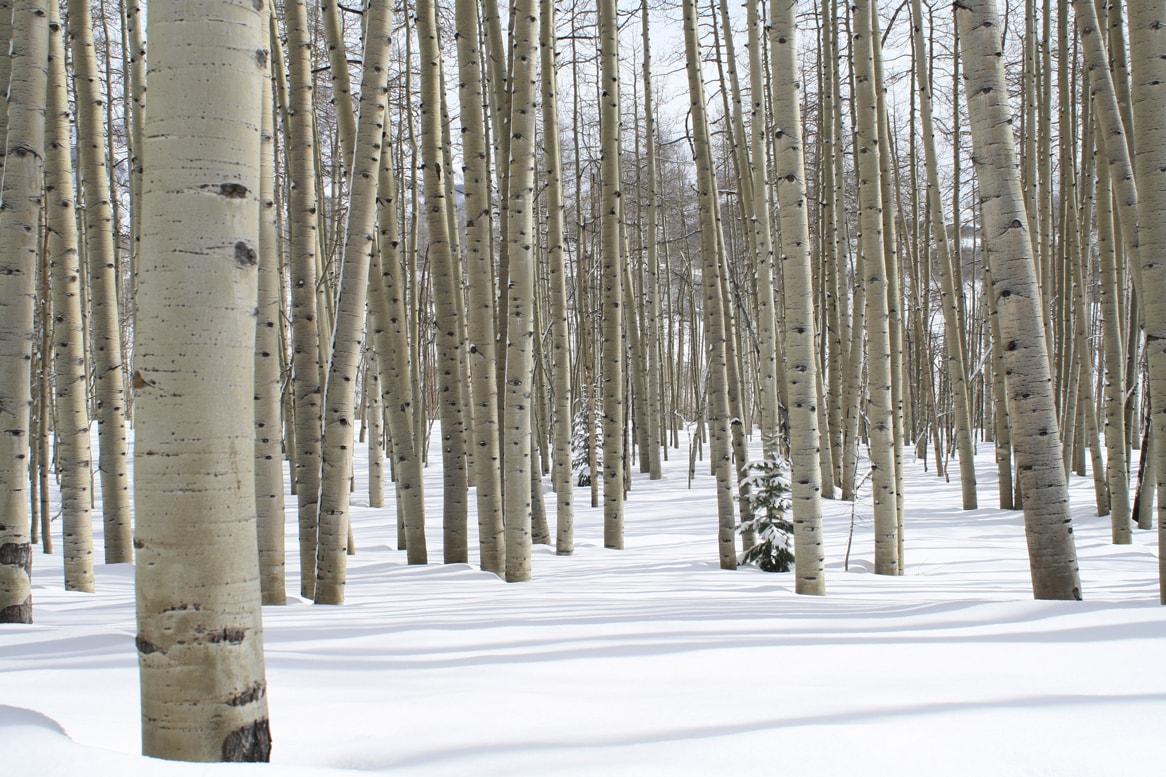 plyco-birch-plywood-trees-europe-min